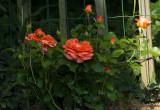 Rose,,,Oranje Meilove