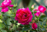 Rose ,,,  Avila ,,
