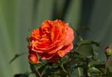 Rose..,Oranje Meilove