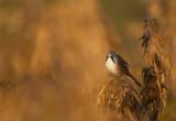 Bearded Reedling