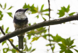 Buff-bellied Puffbird