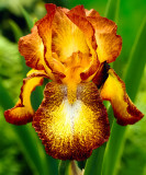 Iris Germanica ,, Spreckless,
