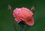 Rose'' Frederic Mistral,