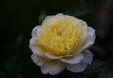 Rose,,, Stockholm,,