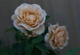 Rose,, Vidal Sasoon
