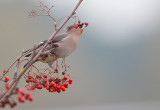 Bohemian Waxwings in Belgium