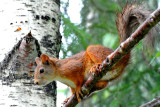Eurasian red squirrel in summer plumage