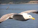 Yellowlegged Gull (Laurus michahellis)Thassos Greece
