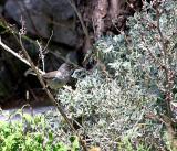 Female Sardinian Warbler (Sylvia melanocephala)Thassos Greece