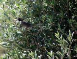 Male Sardinian Warbler (Sylvia melanocephala)Thassos Greece
