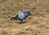 Rock pigeon (Columba livia)Sicily Italy