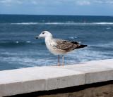 Yellowlegged Gull (Laurus michahellis)Sicily Italy