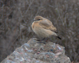 Isabelline wheatear(Oenanthe isabellina)Uppland