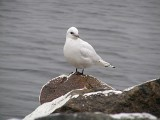 Ivory gull(Pagophila eburnea)halland