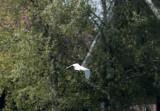 Cattle egrat(Bubulcus ibis)Skåne