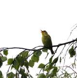 Melodius warbler(hippolais polyglotta)Dalarna