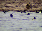 Ring-necked duck(Aythya collaris)Dalarna