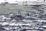 Long-billed Dowitcher (Limnodromus scolopaceus)Södermanland