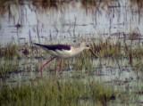 Black-winged stilt(Himantopus himantopus)Uppland