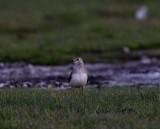 Black-winged pratincole(Glareola nordmanni)Öland