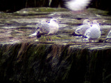 Iceland gull(Larus glaucoides)Halland