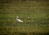 Great egret (Egretta alba)Dalarna