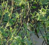 River warbler (Locustella fluviatilis)Dalarna