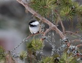 Siberian tit (Parus cinctus)Dalarna