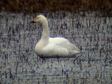 Tundra swan (Cygnus colombianus)Dalarna