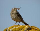 Rock pipit (Anthus petrosus)Gotland