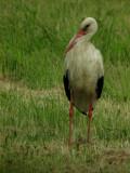 White stork (Ciconia ciconia)Dalarna