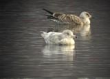 Glaucous gull (Larus hyperboreus)Dalarna
