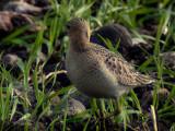 Buff-breasted sandpiper (Tryngites subruficollis)Öland