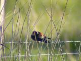 Red-rumped swallow (Hirundo daurica)Öland