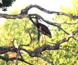 Black stork (Ciconia nigra)Uppland
