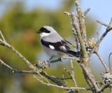 Lesser grey shrike (Lanius minor)Gotland