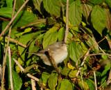 Barred warbler (Sylvia nisoria)Dalarna