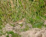 Greater short-toed lark (Calandrella brachydactyla)Dalarna