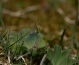 Grönsnabbvinge (Callophrys rubi)