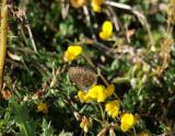 Puktörneblåvinge (Polyommatus icarus)