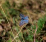 Svartfläckig blåvinge (Maculinea arion)