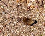 Berggräsfjäril (Lasiommata petropolitana)