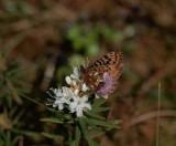 Friggas pärlemorfjäril (Boloria frigga)