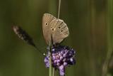 Luktgräsfjäril (Aphantopus hyperantus)