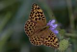 Silverstreckad pärlemorfjäril (Argynnis paphia)female