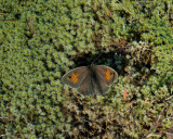 Slåttergräsfjäril (Maniola jurtina)female