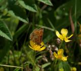 Skogsnätfjäril (Melitaea athalia)