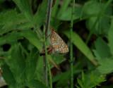 Väddnätfjäril (Euphydryas aurinia)