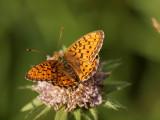 Älggräspärlemorfjäril (Brenthis ino)