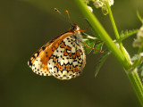 Ängsnätfjäril (Melitaea cinxia)